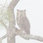 096 Great Horned Owl Hillingdon Fog Book